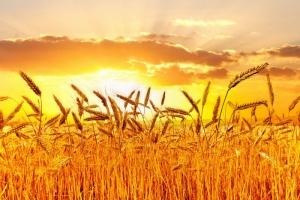 Birbuğday başağındaki sır….